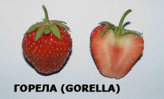 Gorella-Fruit