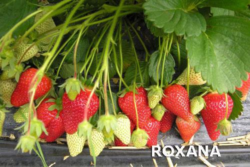 strawberries-roxana