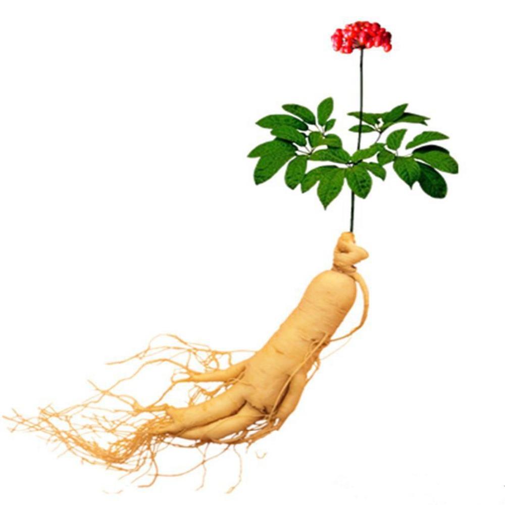 6-Çin-Cesur-Panax-Ginseng-Tohumları-Otlar-kralı-Geleneksel-Tıp-bonsai-Bitki